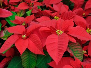 PHOTO: Poinsettia Plants. Happy Holidays from UFIT Research Computing staff.